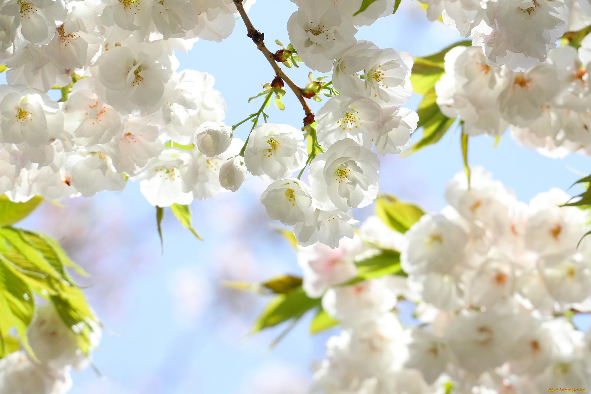 фотообои на рабочий стол весна цветы рисунок
